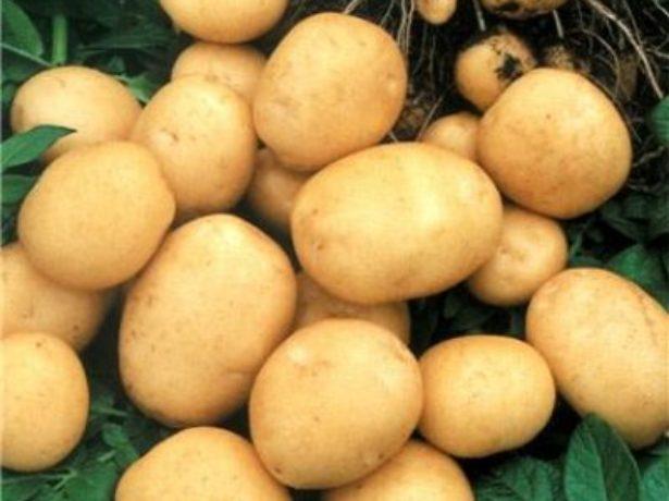 Клубни картофеля Фермер