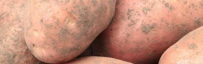 Картофель Лапоть: всё, что нужно знать о выращивании сорта