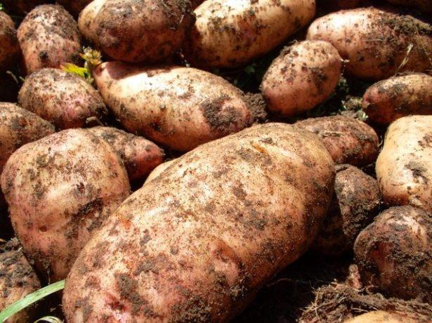 Клубни картофеля сорта Лапоть