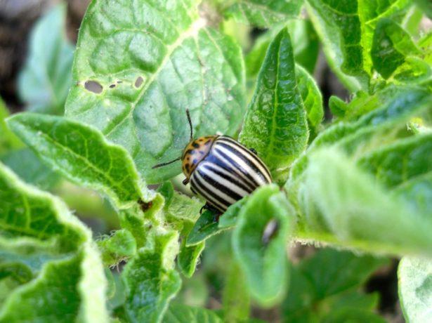Колорадский жук в картофельной ботве