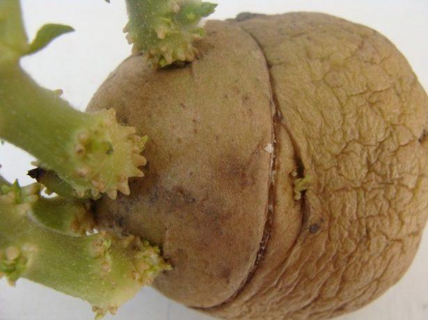 Кольцевой стимулирующий надрез картофеля