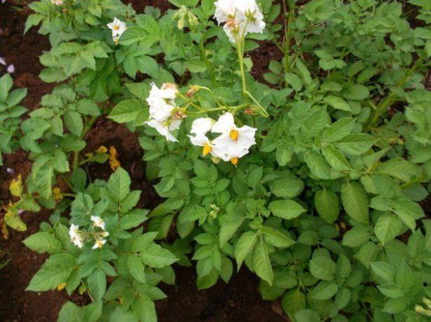 Кусты картофеля Лапоть