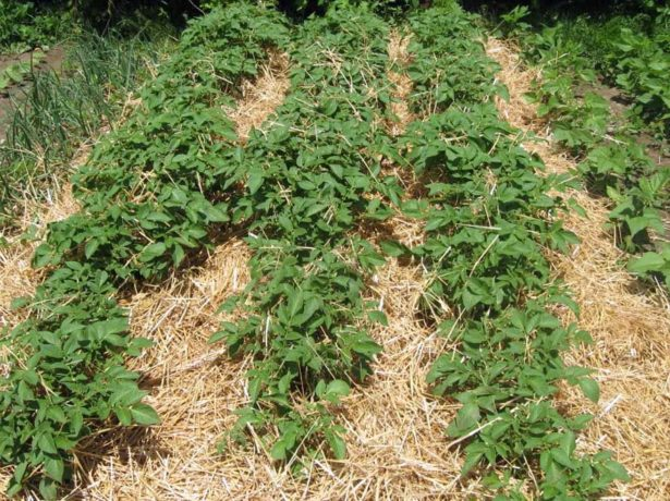 Кусты картофеля, покрытые мульчёй