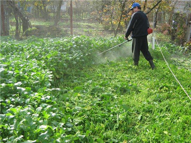 Горчица - хороший сидерат Почвы и удобрения 3