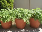 На балконе картофель можно вырастить в любой большой ёмкости