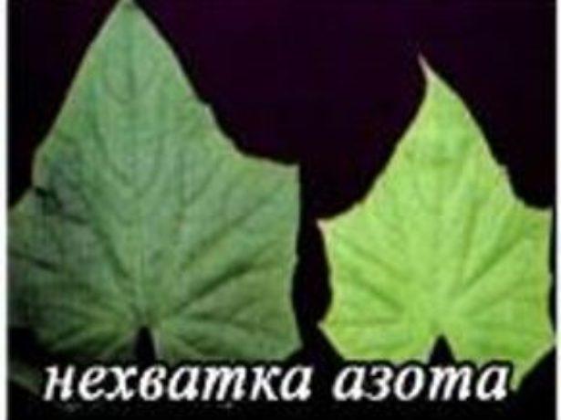 Нехватка азота для листьев