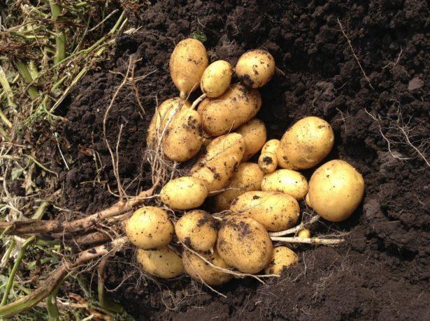обильный урожай картофеля