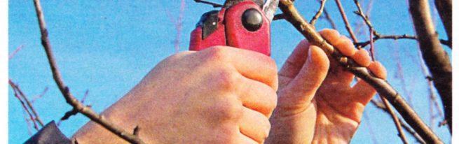Правильная и своевременная обрезка черешни как гарантия обильного урожая