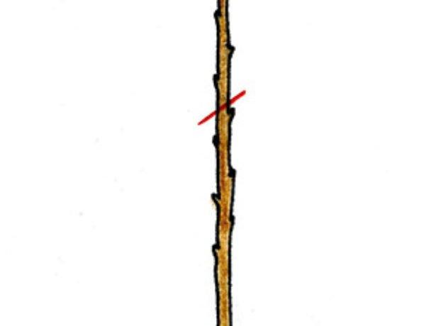 Обрезка саженца черешни первого года посадки.