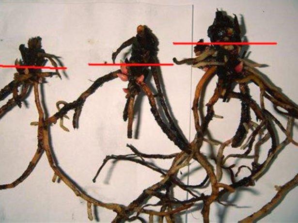 Размножение антуриума частью корня