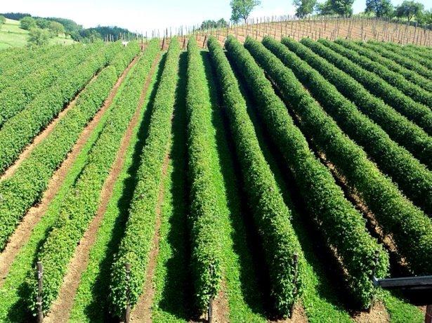 Промышленная плантация малины Полька