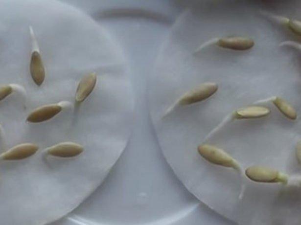 Пророщенные огуречные семена