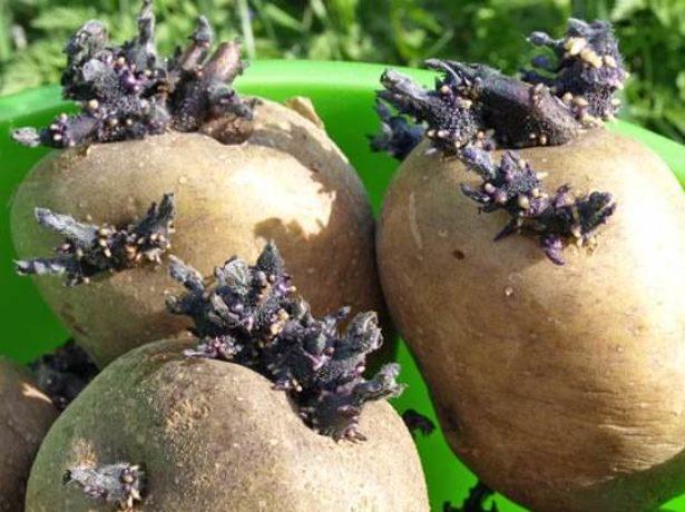 Пророщенный картофель Синеглазка