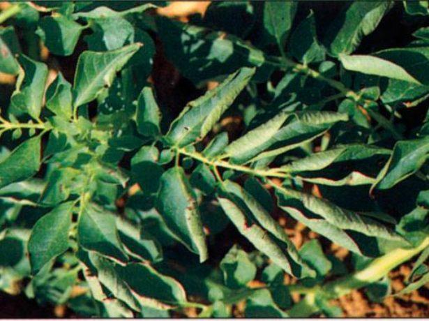 Скручивание листьев