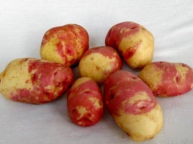 Сорт картофеля Иван-да-Марья