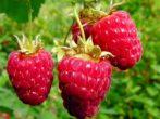 Малина сорта Брусвяна: как получить 2 урожая за сезон
