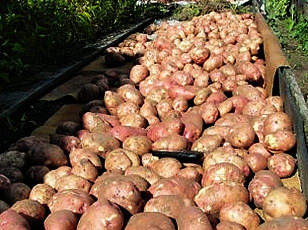 Урожай картофеля Лапоть
