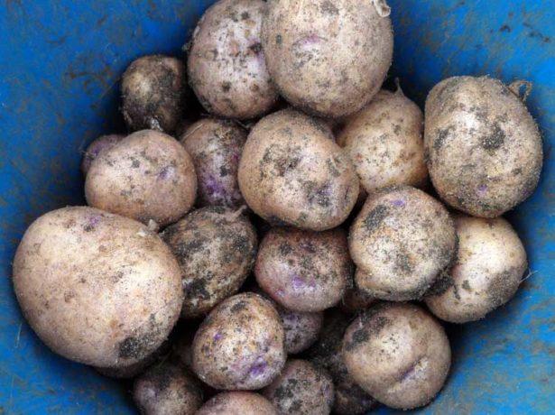 Урожай картофеля Синеглазка