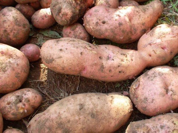 Урожай картофеля сорта Лапоть