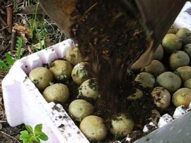 Комбинированный способ проращивания картофеля