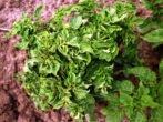 Ботва растения, пораженного вирусом скручивания листьев
