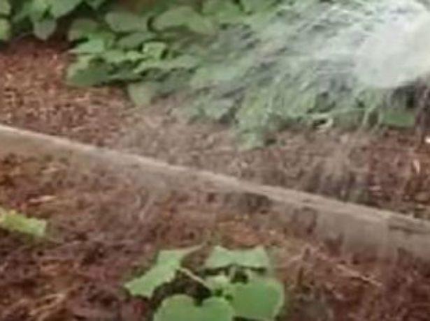 Внекорневая подкормка огурцов