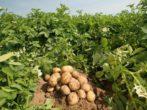 Все хитрости выращивания картофеля: традиционные и новые методы