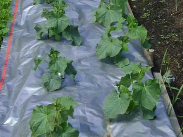 Выращивание огурцов на плёнке без полива