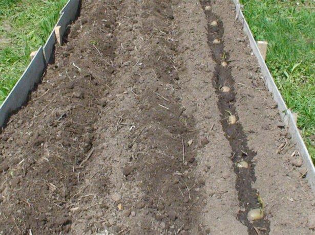 Высадка клубней картофеля