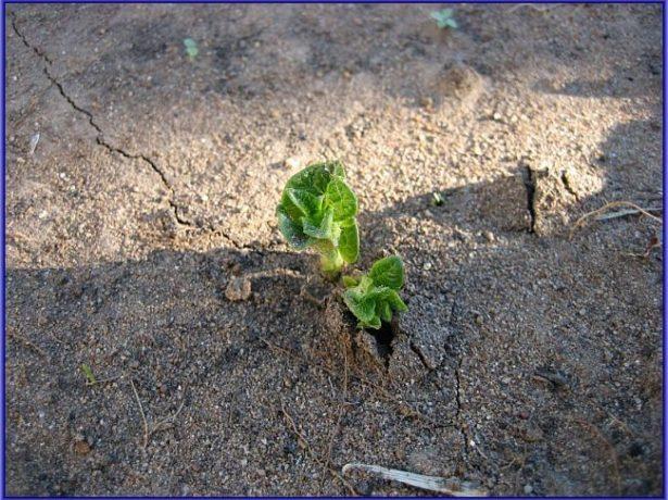 Земляная корка после полива