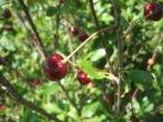 Антракноз на ягоде вишни