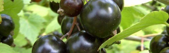Сибирский сорт чёрной смородины: Ядрёная ягода в вашем саду