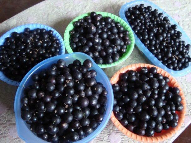 Урожай чёрной смородины