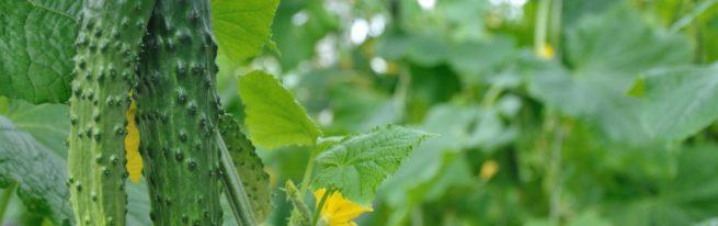 Всякому овощу — своё время: лунный календарь и посадка огурцов