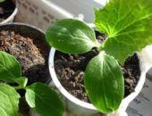 Пикированные растения имеют более развитую и компактную корневую систему