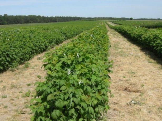 Плантация Поланы в Луганской области