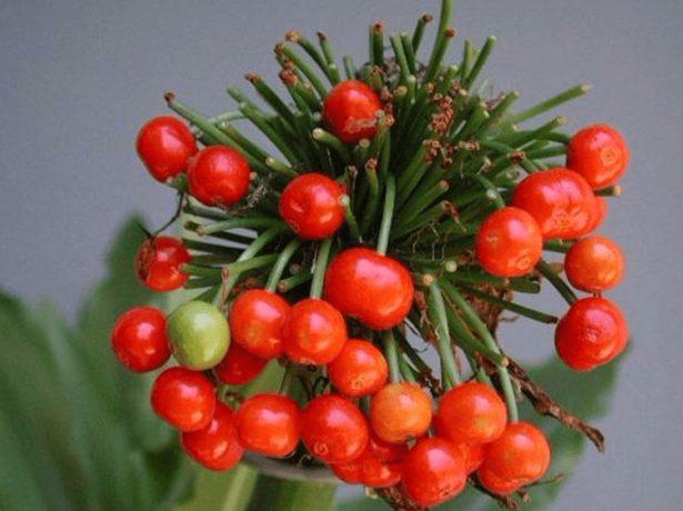 Плоды гемантуса