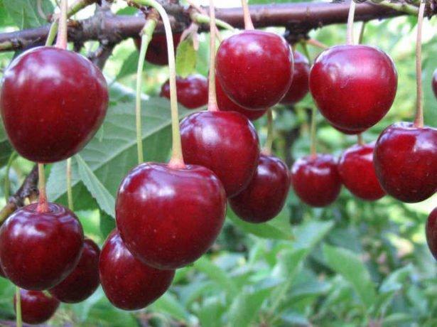 Плоды Тургеневки