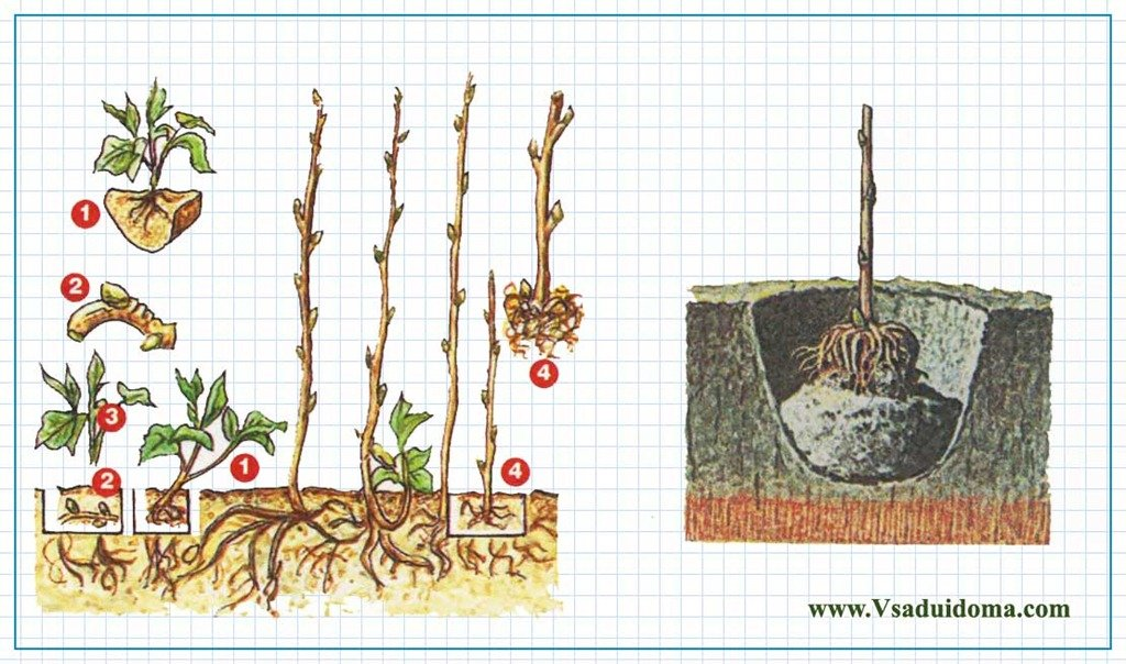 Малиновое дерево  посадка и уход фото размножения