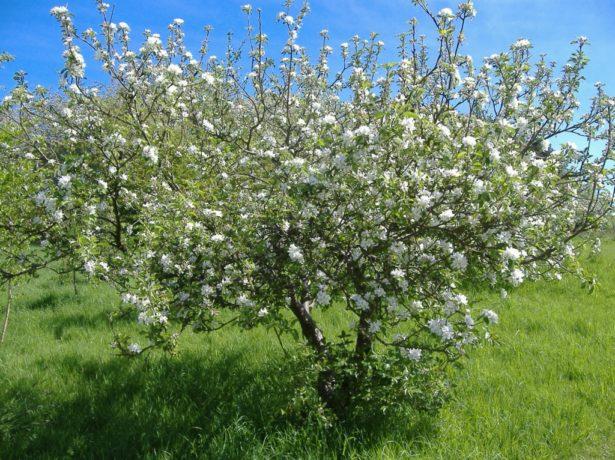 Дерево вишни Малышка
