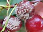 Серая гниль на ягодах вишни