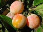 Особенности выращивания сливы Персиковой