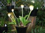 Цветущий гемантус белоцветковый