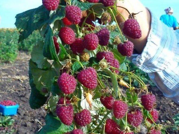 Урожай Поланы