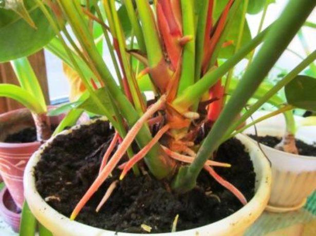 Воздушные корни растения