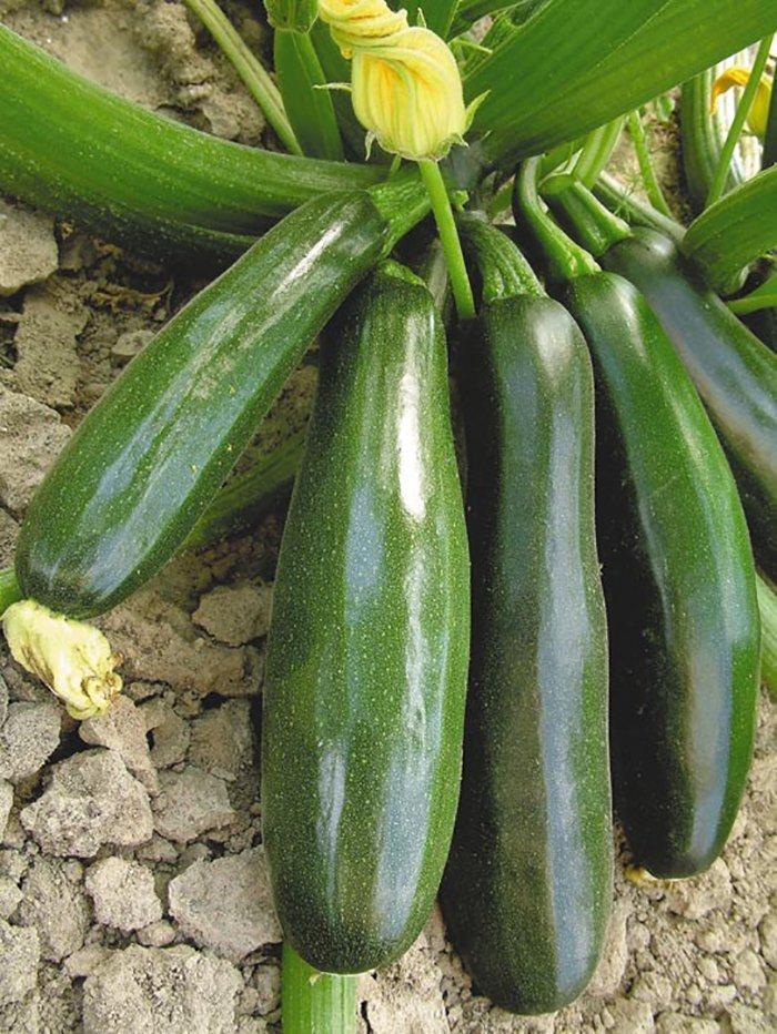 Семена кабачков в домашних условиях