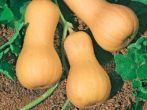 Популярные сорта желтоплодных кабачков