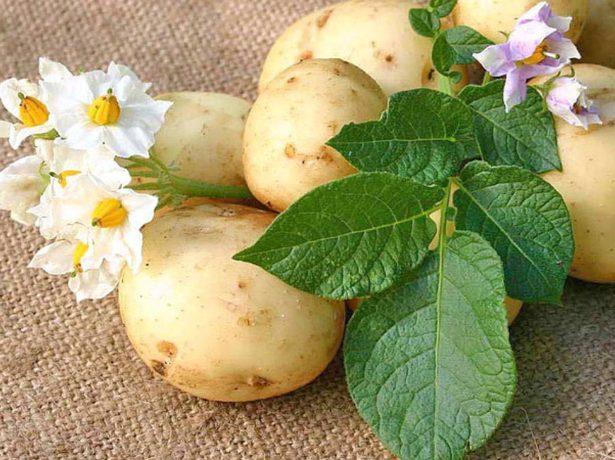 Клубни, цветки и листья картофеля