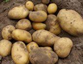 Картофель Барин урожай