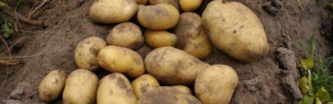 Интересная новинка картофельного рынка: сорт Барин